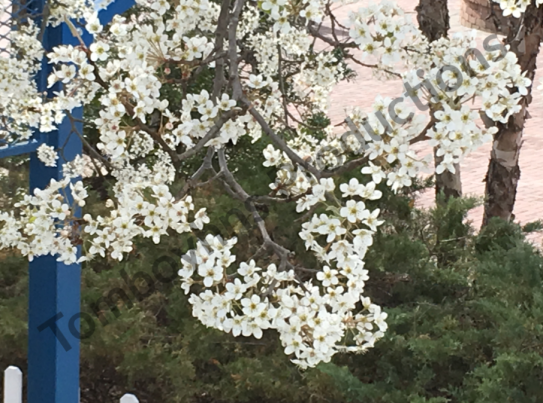 Pretty blossoms watermarked.png